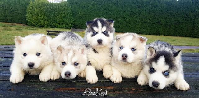 Comprar cachorros husky siberiano del Sirokami Contacto
