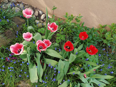 Tulpen im Naturgarten