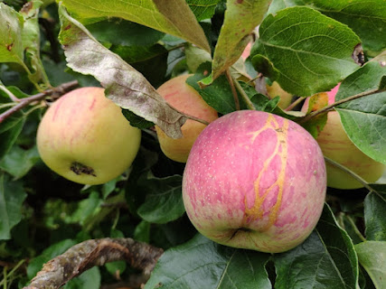 Blushed and striped apples hanging on a branch