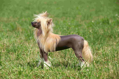 Chinese dog breeds, hairless chinese dog