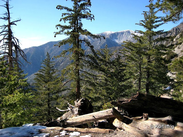 Between the second and third trees you can see Mt. Baldy. The peak is 10,064 feet.