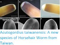 https://sciencythoughts.blogspot.com/2017/12/acutogordius-taiwanensis-new-species-of.html