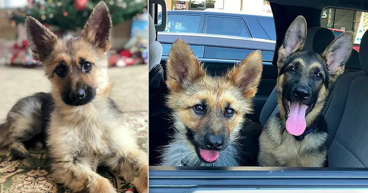 This German Shepherd Will Remain A Puppy For The Rest Of His Life Due To A Rare Genetic Condition