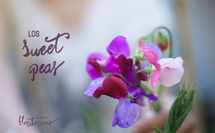 sweet peas o guisantes de olor