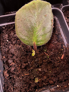 African Violet Sprouting Leaves