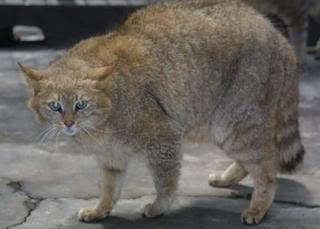 Gato montés chino (Felis bieti)