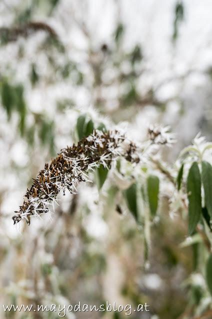 Schmetterlingsflieder mit Frost und Schnee