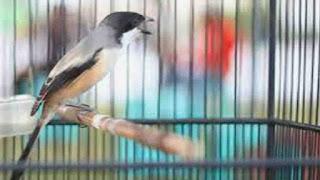 Cara Merawat Burung Cendet Agar Gacor
