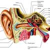 Pengertian, Bagian-Bagian Telinga dan Fungsinya Masing-Masing