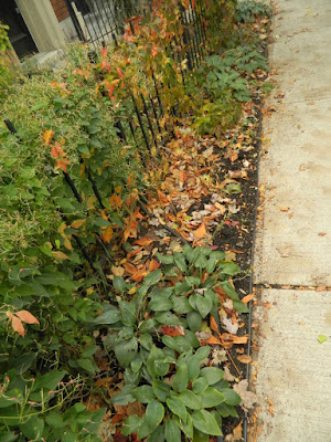 Toronto Cabbagetown Front Yard Fall Cleanup before by Paul Jung Gardening Services