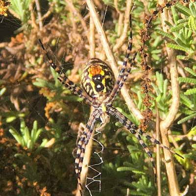 Roy Orbison the Spider, a female banded orb weaving spider in Western Australia