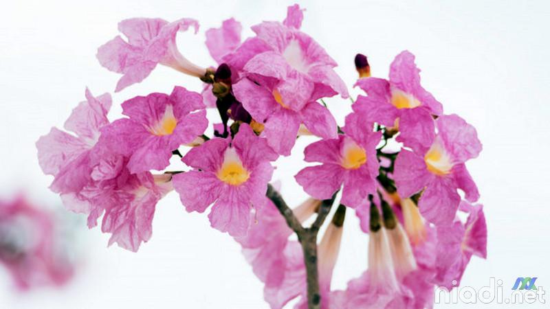 jual tanaman hias tabebuya sweet pink flowers