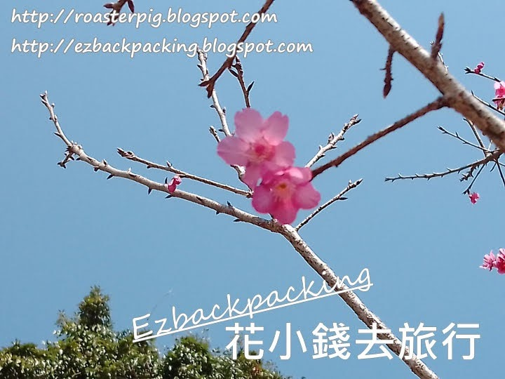 2021年山頂櫻花