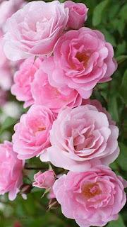 flores-de-petalos-de-color-rosa