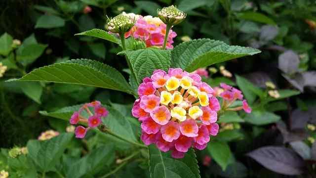 Cara menanam dan merawat bunga lantana di rumah bagi pemula