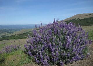 Purple bush lupine on the slopes of Mt. Diablo, near Danville, California