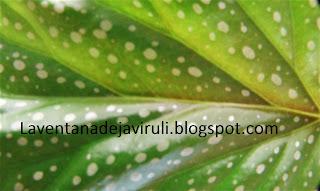 detalle-begonia-lucerna