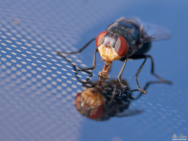 Housefly on Windshield