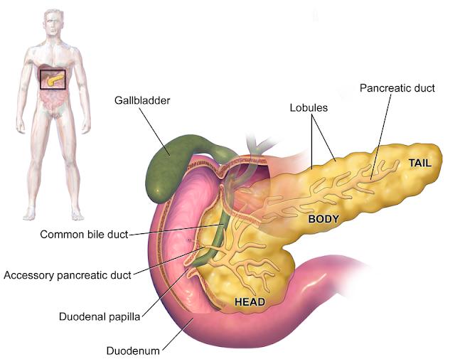 Anatomi pankreas papila duodenale duktus asesorius pankreas kantong empedu sel beta alpha alfa delta diabetes melitu mellitus endokrin endokrinologi insulin glukagon somatostatin glukoneogenesis