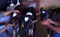Em caso raríssimo, vaca pare bezerras trigêmeas, todas com marca em forma de coração na cabeça