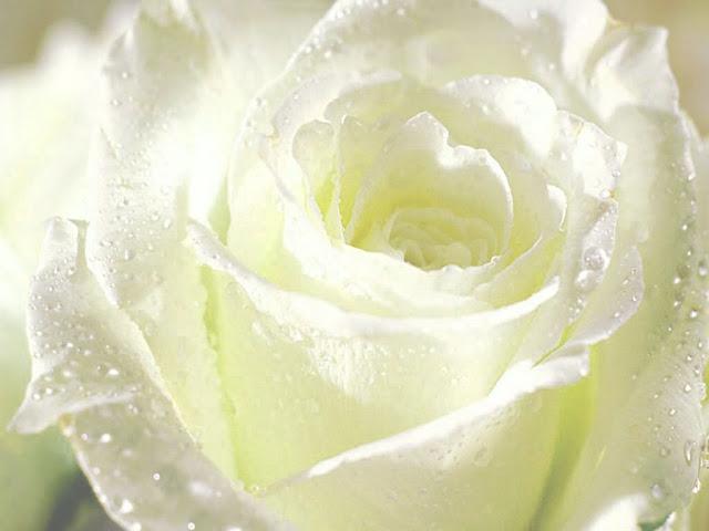 ý nghĩa hoa hồng trắng 4