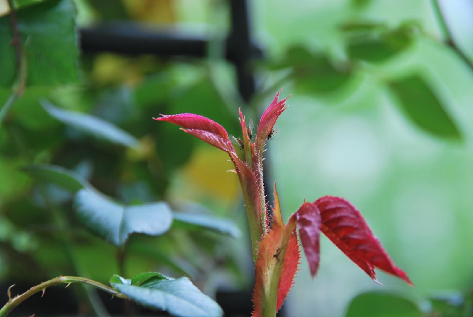 Combattere Afidi Delle Rose curare le malattie delle piante con i metodi
