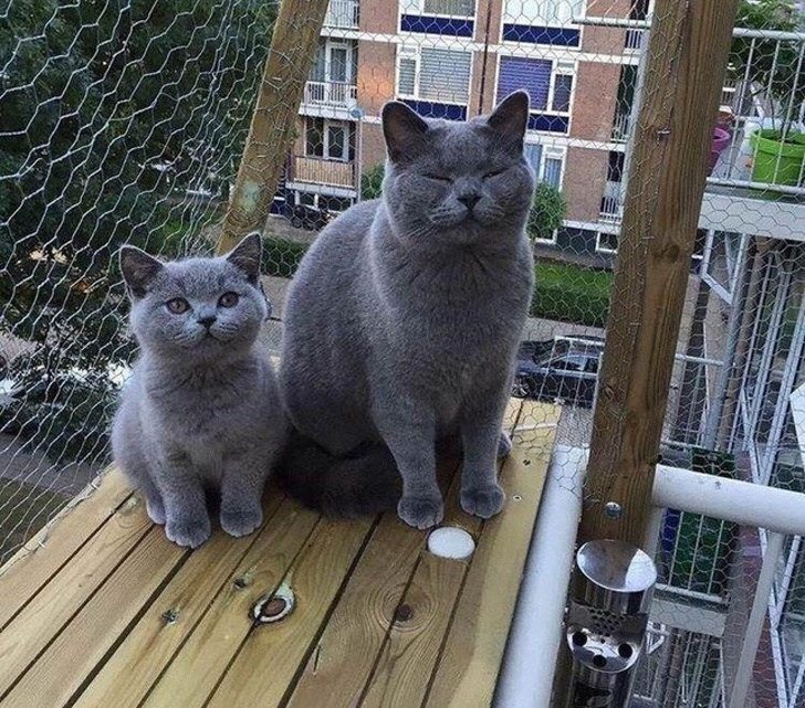 Cats Chartreux Cat Pronunciation