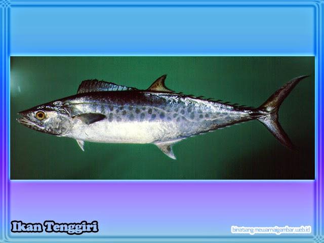 gambar ikan tenggiri
