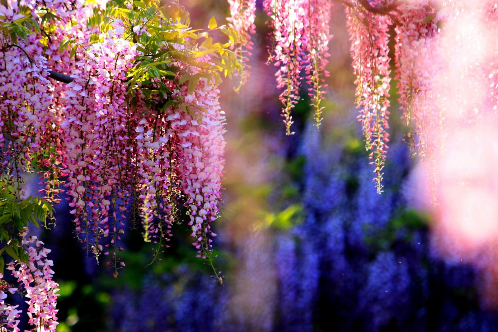 Wallpaper: Wisteria Tree Is Extreem Beauty Of Nature