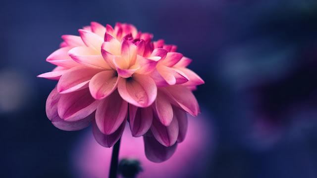 closeup view of pink petals flower in blur blue background 4k HD flowers Wallpaper