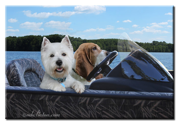 Westie and Basset Hound driving a boat