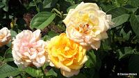 Gold Medal roses at various stages, Elizabeth Park - West Hartford, CT