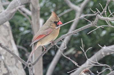 "This photograph features a female cardinal perched on the branch of a tree and looking down. This bird type is featured in my book series, ""Words In Our Beak."" Info re these books is in another post on this blog @ https://www.thelastleafgardener.com/2018/10/one-sheet-book-series-info.html"
