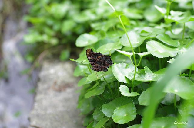 雞南山的琉璃蛺蝶