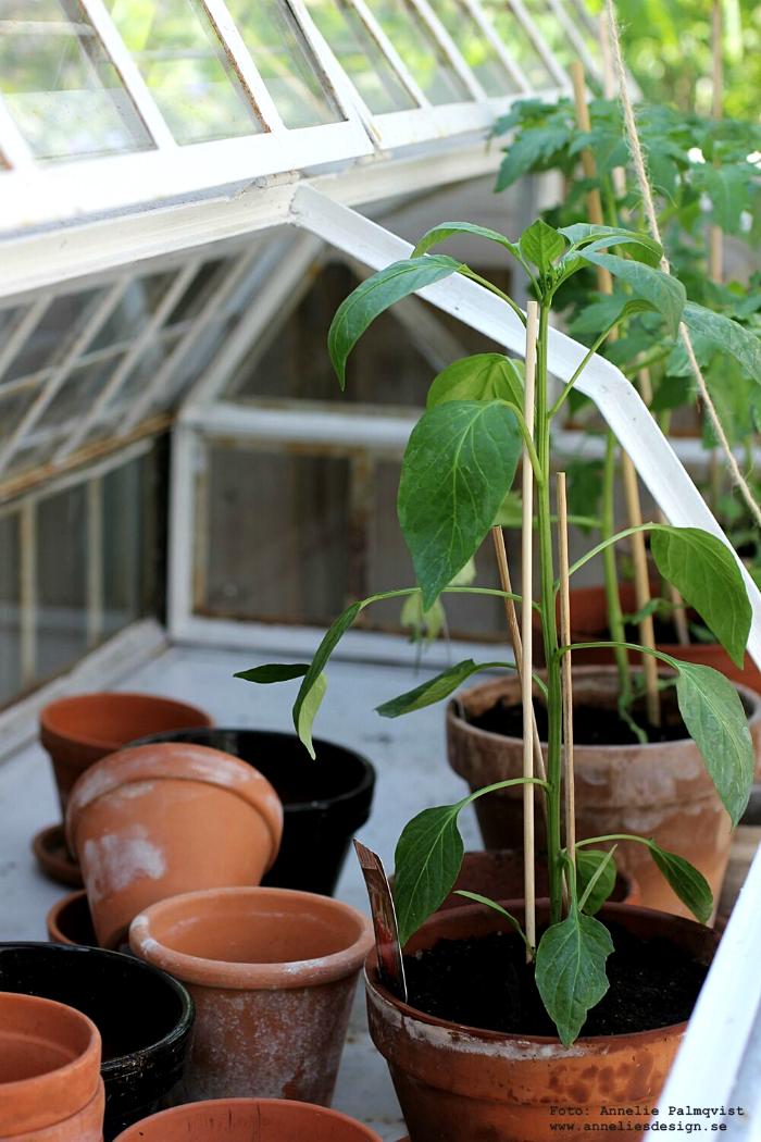 annelies design, blomma, tomater, uteplats, uterum, växthus, drivhus, miniväxthus, altan, pergola, trädäck, gurka