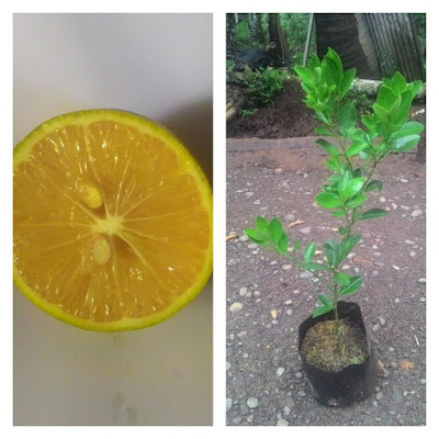 bibit jeruk lemon america | bibit jeruk lemon Amerika | bibit jeruk lemon unggul | bibit-bibit buah unggul | budidaya jeruk lemon Amerika | jeruk uc America