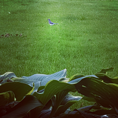 image of a blue jay sitting in some grass near some hastas