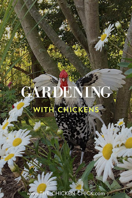 Landscape gardening with backyard chickens. www.The-Chicken-Chick.com