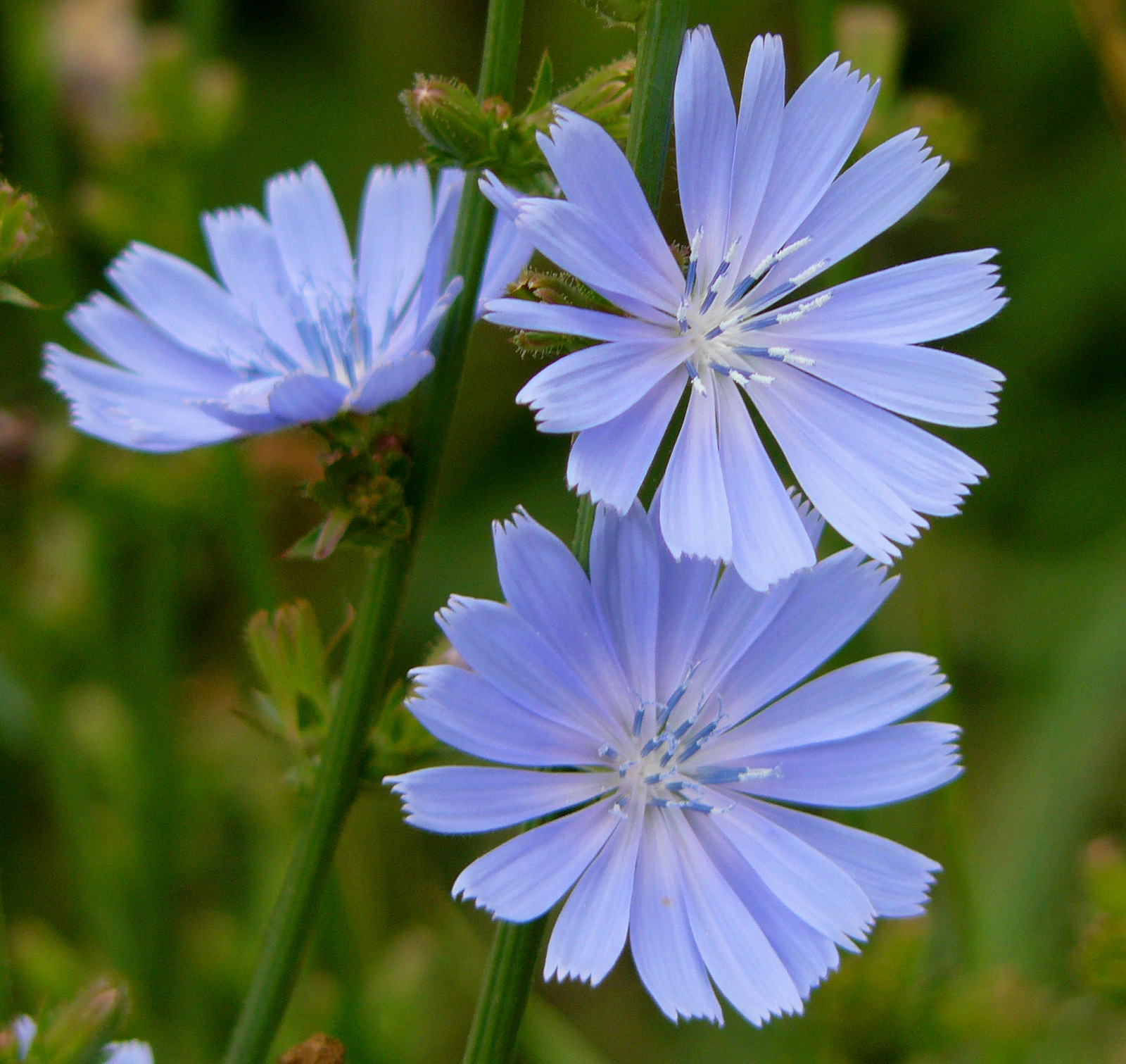 Chicory plant use and recipes for health