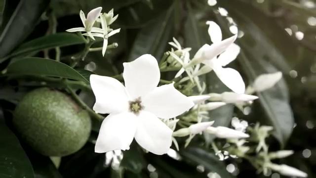 Most Poisonous Plants, Suicide Tree