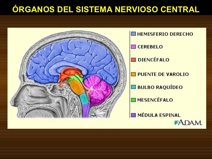 La Psicologia y sus comportamientos: ANATOMIA DEL SISTEMA NERVIOSO