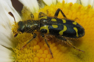 Ornate Checkered Beetle, Trichodes ornatus