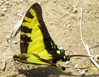 Neographium thyastes, Orange Kite-Swallowtail