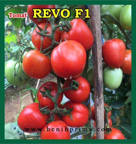 Benih Prima, benih unggul, benih tomat lokal, benih tomat hibrida, benih tomat f1, benih tomat, benih tomat unggul, benih tomat lebat, benih tomat hibrida, benih tomat prima mandiri, benih prima mandiri,