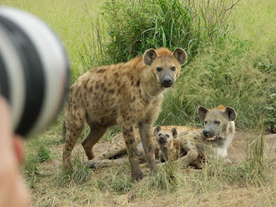 What you didn't know about the spotted Hyena