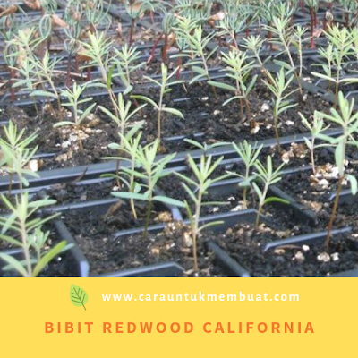Bibit Redwood California