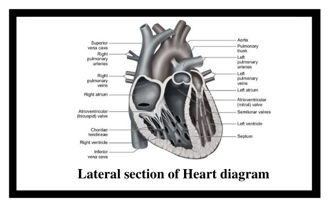 Lateral section of heart