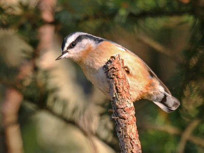 Photo of a Red-breasted Nuthatch on a branch