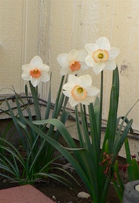 Four tall single bloom daffodils, photo ©2019 Tina M.Welter