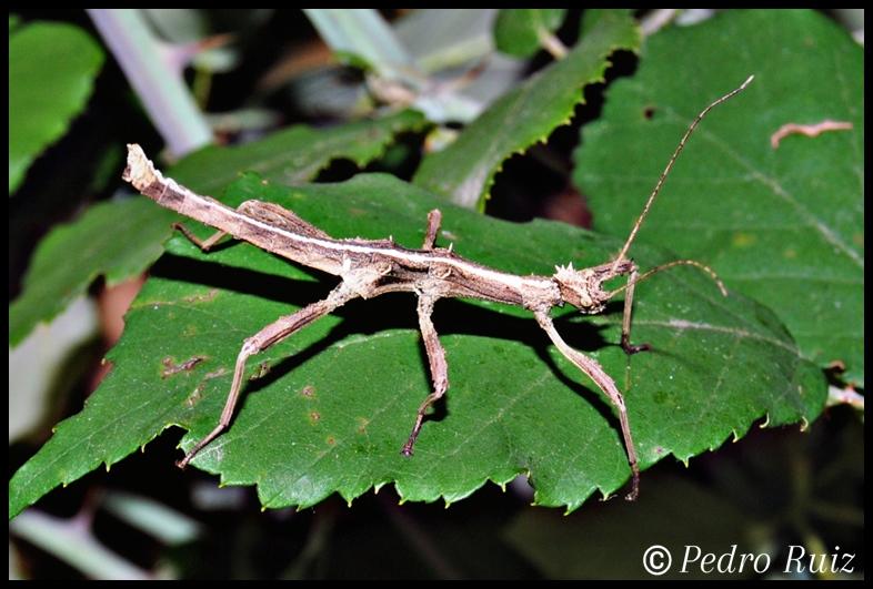 Ninfa macho L4 de Sungaya inexpectata, 4 cm de longitud